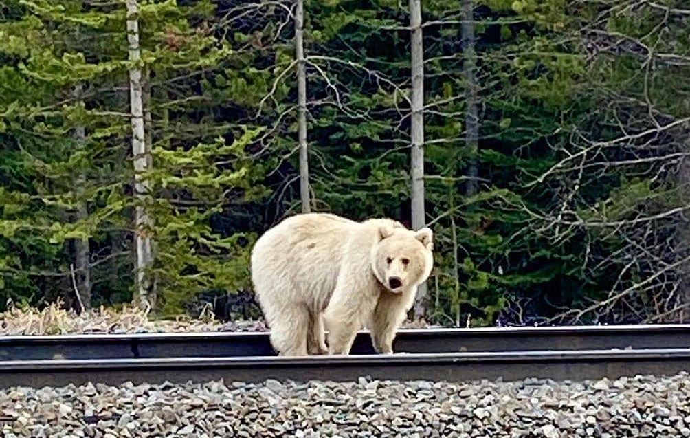 Concerns Raised As People Crowd Rare White Grizzly In Banff And Yoho Parks Globalnews Ca