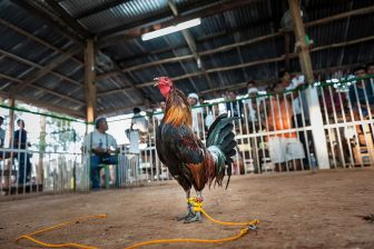 cockfighting rooster