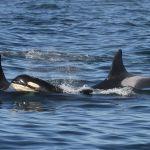 Beloved southern resident killer whale grandmother missing, presumed dead | Globalnews.ca 💥😭😭💥