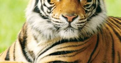 Tiger at a zoo in New York City tests positive for COVID-19