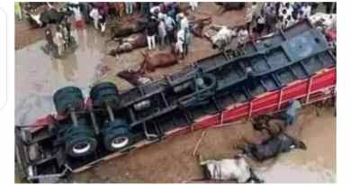 """Just In: Trailer loaded with Fulani cows, goats and """"Almajiris"""" heading to the South East fell at the Lokoja Bridge"""