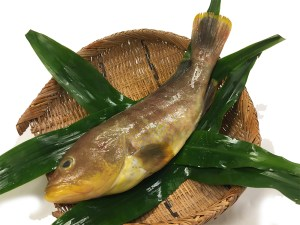 Ao Hata (Aona) - Yellow grouper Image
