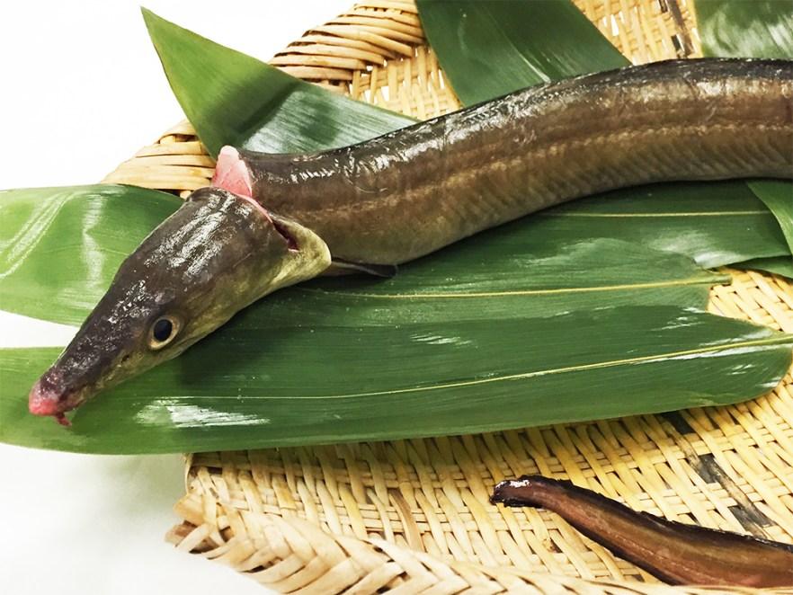 Hamo - Pike eel (Pike conger) Image