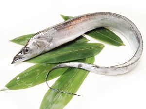 Tachiuo - Beltfish Image