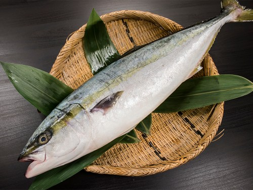 Inada/Yazu - Young yellowtail