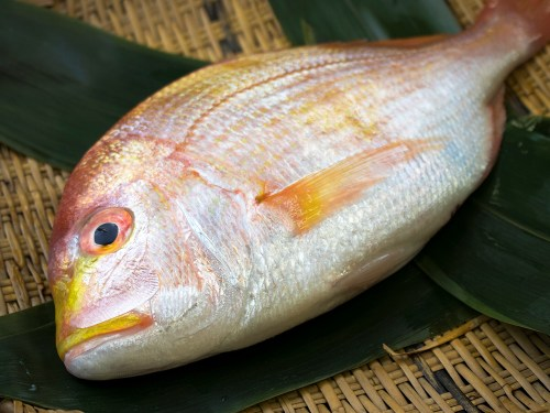 RENKODAI - Yellowback seabream
