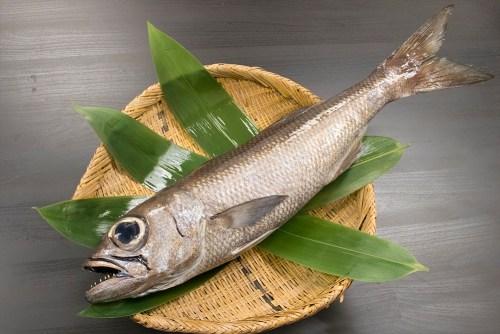 KUROMUTSU– Japanese bluefish