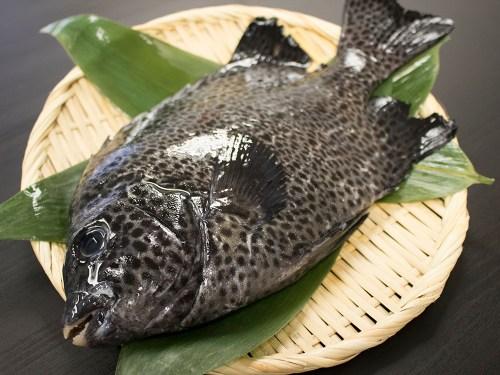 ISHIGAKIDAI - Spotted knifejaw