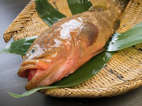 KIJIHATA – Redspotted grouper