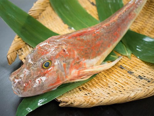 HOUBOU - Sea Robin