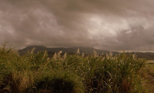 Field of sugarcane in Triangle. Photo by Macvivo.
