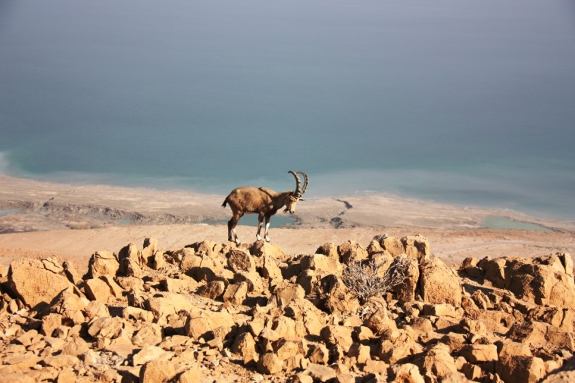 Israeli mountain goat by Sigal Ben Amram.