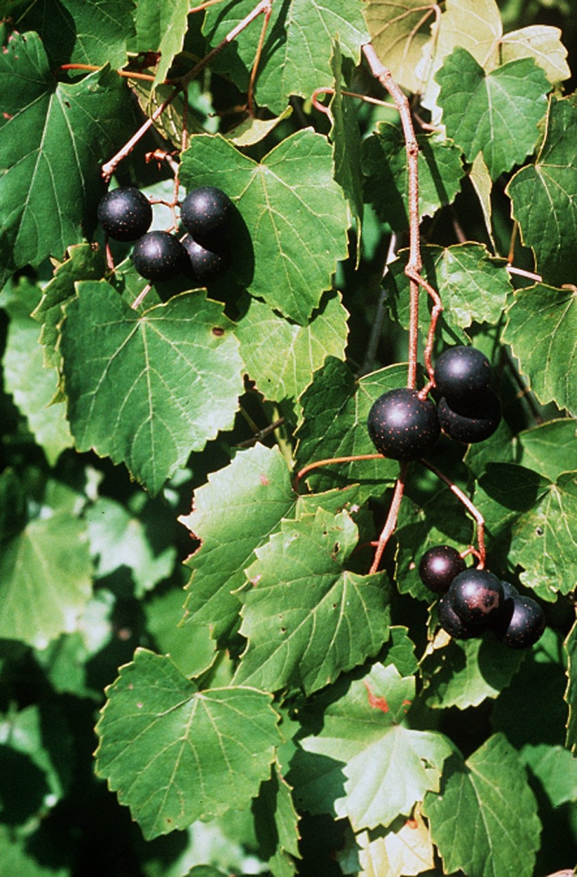 """Vitis rotundifolia"". Licensed under Public Domain via Commons - https://commons.wikimedia.org/wiki/File:Vitis_rotundifolia.jpg#/media/File:Vitis_rotundifolia.jpg"