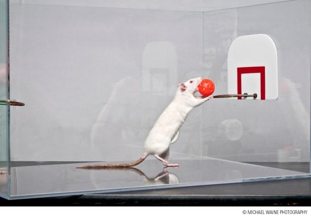 Rat.1