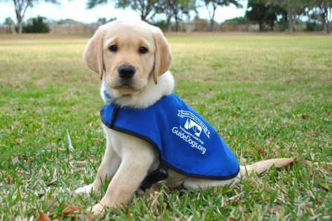 Southeastern Guide Dogs Puppy