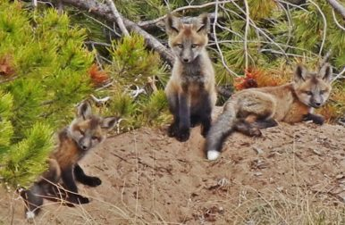 Though red foxes only hunt for small creatures they consider food, humans shouldn't tread too closely. If they feel threatened or if you're near their den, they can get defensive. Photo courtesy of member Kirk P.