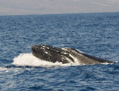 Humpback whales don't have teeth, so their diet consists of tiny fish and krill that they can swallow whole. Hawaii and the Oregon coast, among others, offer wonderful tours for whale watching. Photo courtesy of member Gerald S.