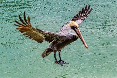 Not only are brown pelicans the smallest of all pelican species, they are the only one to hunt for fish by diving into the water. Taken at John's Pass in Madeira Beach, Florida, by member John H.