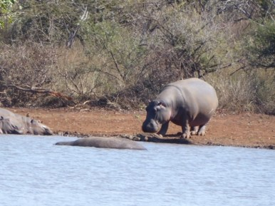 Hippos in Kruger.