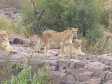 Pride of lions in Kruger.