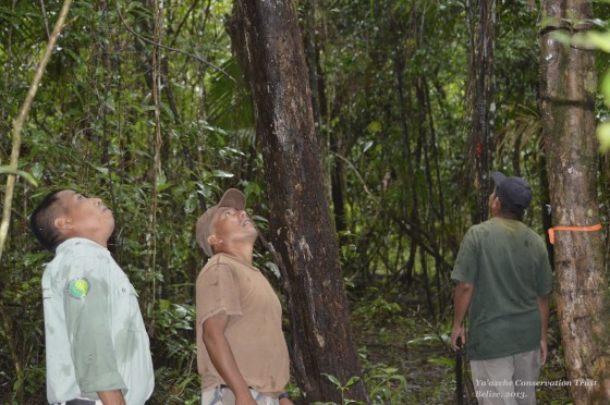 Ya'axche rangers monitoring rosewood trees during a patrol.