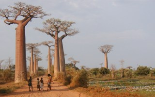 Baobab panorama - Credit: Richard Jenkins
