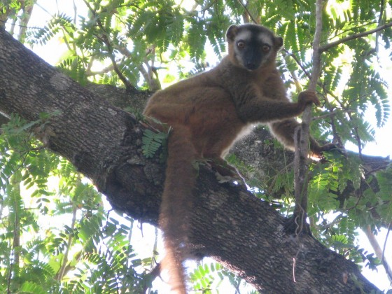 Protecting baobabs also helps conserve other species like this red-fronted lemur