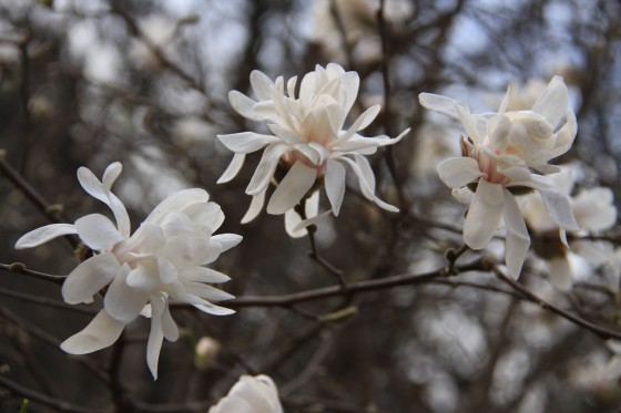 Magnolia sinostellata, an Endangered tree found in China. Less than 1,500 mature individuals are thought to exist. Credit; Professor Shouzhou Zhang Fairylake Botanic Garden