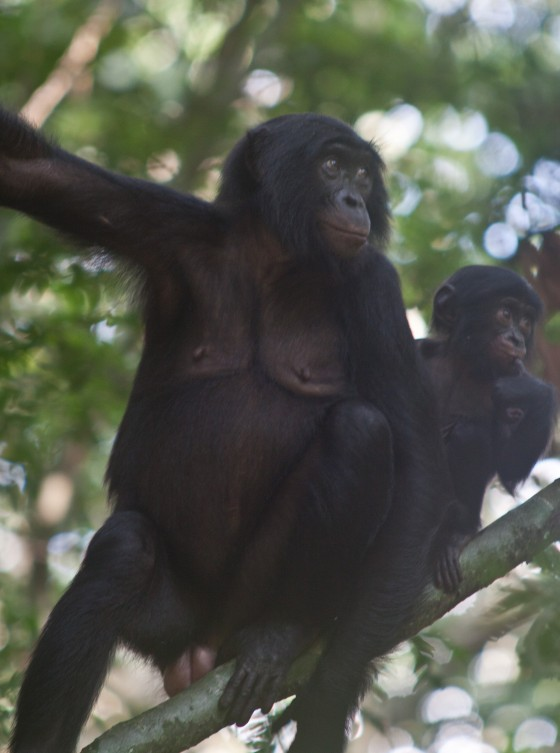Many trees may depend on bonobos for their survival. Credit: Robin Loveridge/Max Plank Institute of Evolutionary Anthropology.