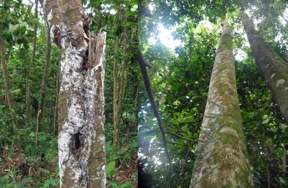 A lansan tree killed by over-tapping (on the left) compared to an untapped tree (on the right). Credit: Jenny Daltry/FFI.