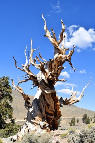 Bristlecone pine Credit Luke Wallace Friends of Bedgebury Pinetum