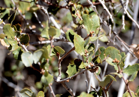 The holly-like leaves of Quercus dumosa. Credit: Flickr/Don Laurie.