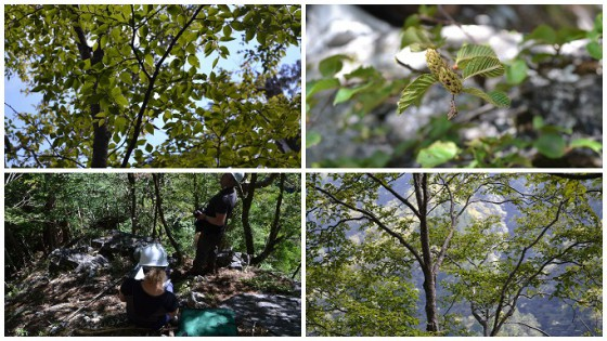Betula chichibuensis seed collecting trip, Japan, 2016 Photo Credit: Kirsty Shaw