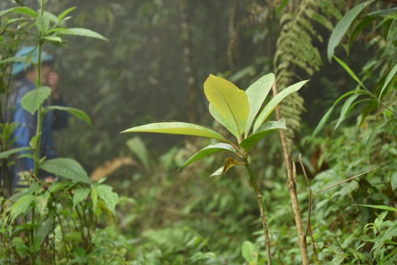 Magnolia grandis seedling planted in community forest by Tung Vai Watershed Protection Area. Credit: Dave Gill/FFI
