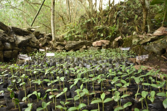 Magnolia seedlings growing at a village nursery. Credit: Dave Gill/FFI.