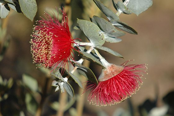 The numberous stamens of a Eucalypt flower. Credit: Rose Mallee/ecologyweb (CC BY-NC-ND 2.0)
