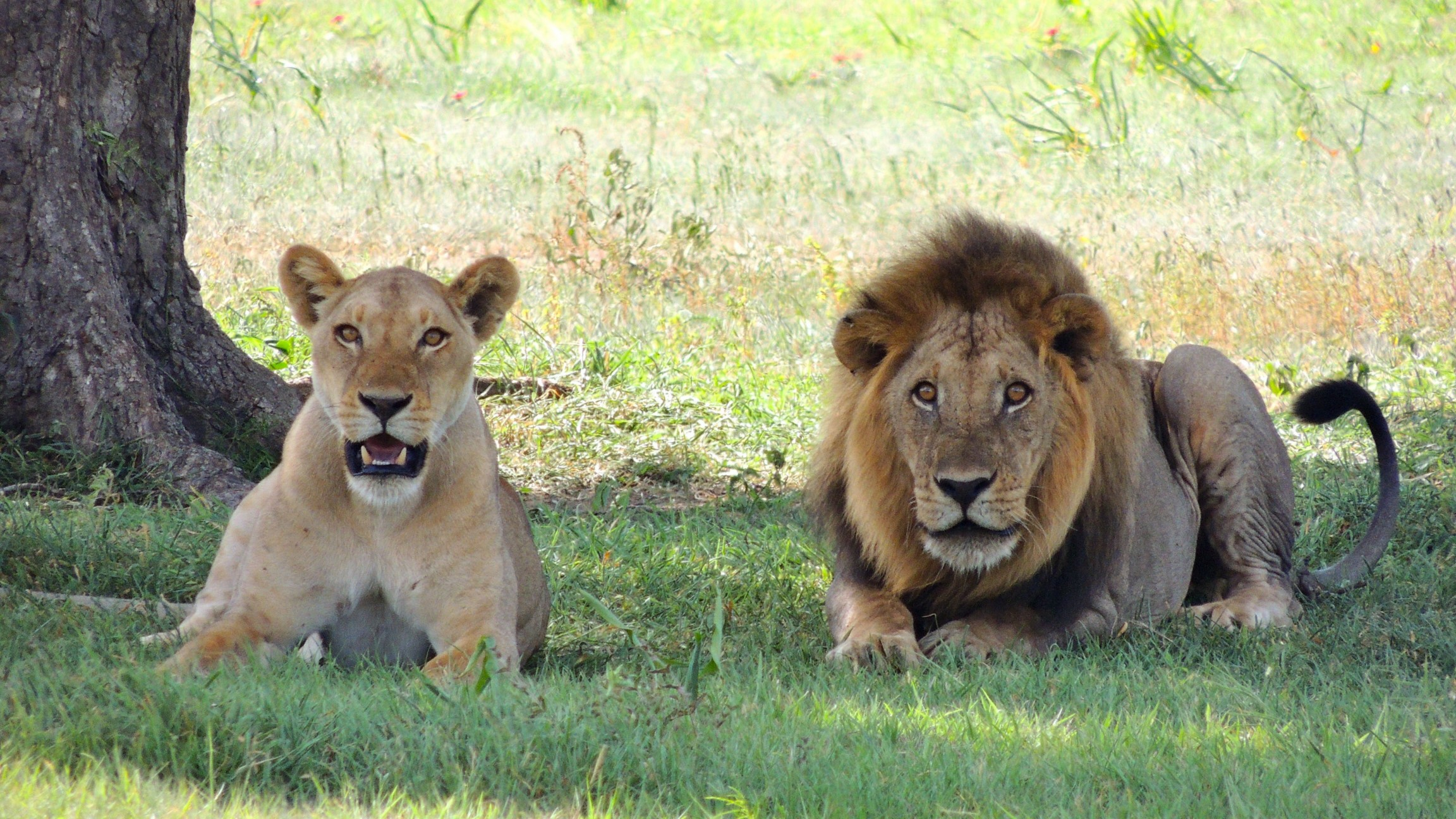 A lioness and lion in Africa