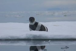 Government Misses Another Deadline for Endangered Arctic Species Determination