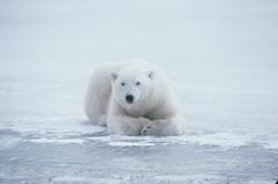Obama's Polar Bear Action