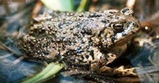 Wyoming Toad - extinct in the wild