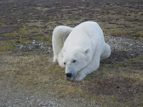 PCB's effect the health of polar bears