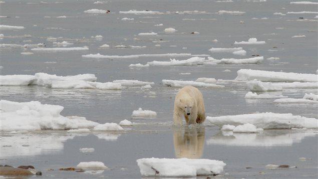 A Polar Bear in Hudson Bay