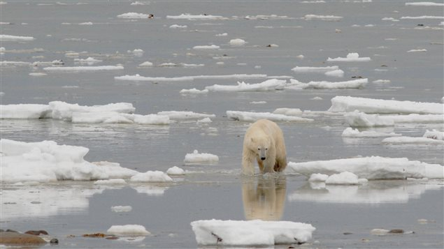 Polar Bears Undertaking Marathon Swims, Populations Declining Rapidly as Sea Ice Disappears