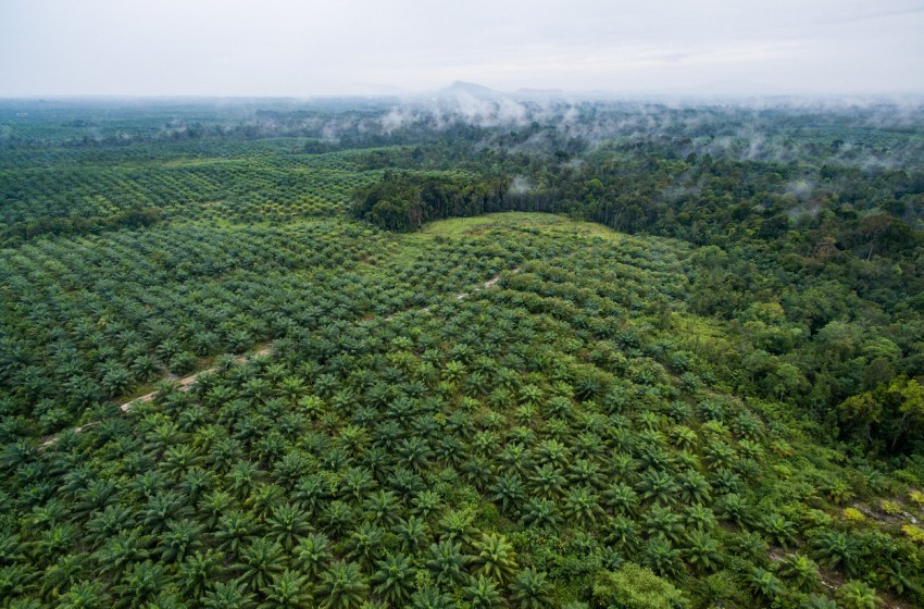 The Environmental Impact of Palm Oil