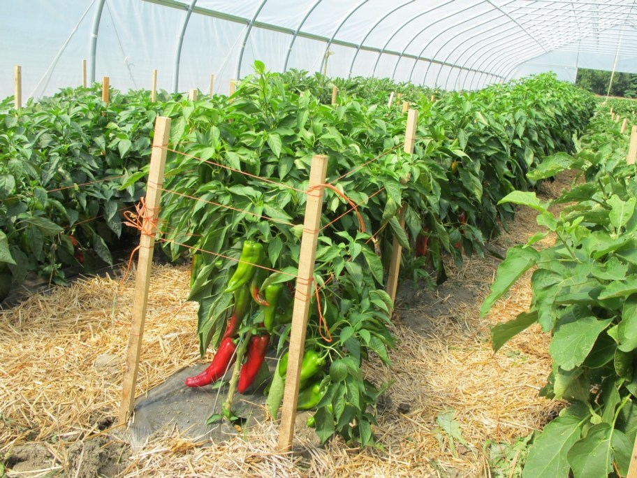 Green House Farming in Kimende