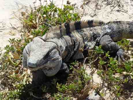 Iguana at the ruins of Tulum