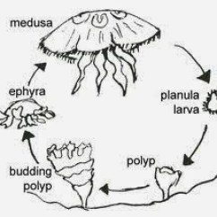 Sea Turtle Life Cycle Diagram Electrical Wiring Schematic Se Descubre La Hormona Responsable De Metamorfosis En Medusas