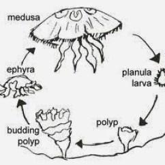 Sea Turtle Life Cycle Diagram 4 Wire Smoke Detector Wiring Se Descubre La Hormona Responsable De Metamorfosis En Medusas