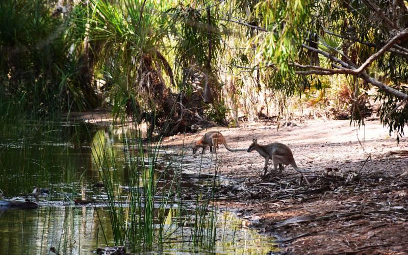 Wallabies au bord d'une rivière