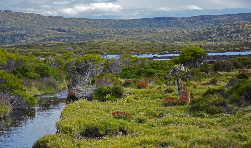 Wallabies et animaux sauvages dans les montagnes de Tasmanie